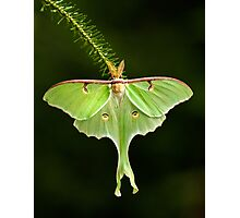 Luna Moth spreads his wings Photographic Print