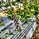 Orthosiphon Stamineus (Cat's Whiskers) by artz-one