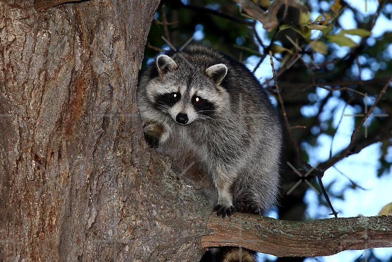 Raccoon by Jim Cumming