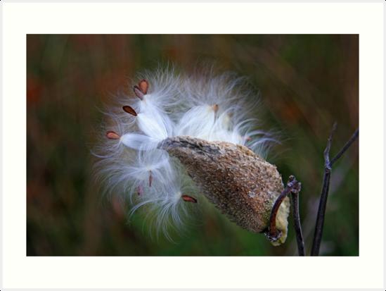 Milkweed by Jim Cumming