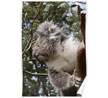 Otway Koala Poster