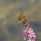 Dragonfly On Purple Loosestrife by Tracy Wazny