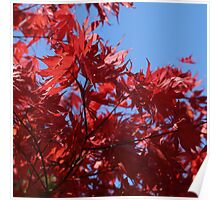 Japanesse Maple Leaves  Poster