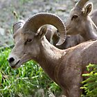 Rocky Mountain Bighorn Sheep  by Teresa Zieba