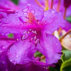 Purple Rhododendrun by Sue Ratcliffe