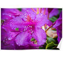 Purple Rhododendrun Poster