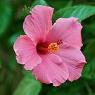 Pink Hibiscus by Sandy Keeton
