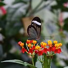 Butterfly  by Louiseclaire86