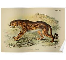 A Handbook to the Carnivora Richard Lydekker 1886 0264 Hunting Leopard Poster