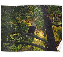 Perching Eagle Poster