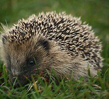 Hedgehog by YorkshireMonkey