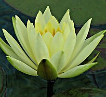 Lemon Water Lily in Low Light by Kathryn Jones
