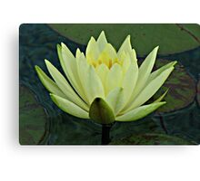 Lemon Water Lily in Low Light Canvas Print