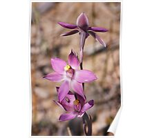 Fringed Sun Orchid - Thelymitra luteocilium Poster