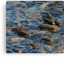 fish frenzy Canvas Print