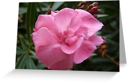 For all those who want something pink :)) - oleander _laurier rose_ by bubblehex08