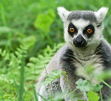 The Lemur Calendar by Tony Walton