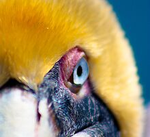 Pelican Eyes by Benjamin Manning