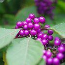Berry Purple! by Geraldine Miller