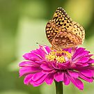 Great Spangled Fritillary 1-2015 by Thomas Young