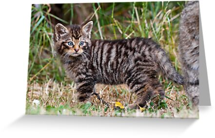 Little Tiger by Peter Denness