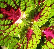 Mini Begonia by Penny Smith