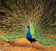 Peacock Displaying at Cataract Gorge. by Bev Pascoe