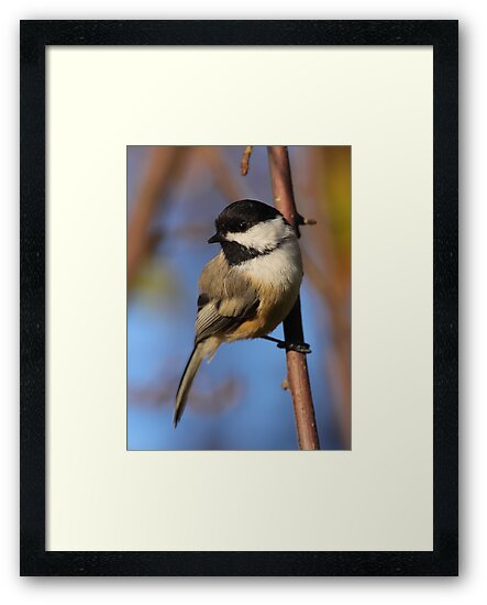 Black-capped Chickadee by naturalnomad