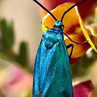Forester Moth. by trevorb
