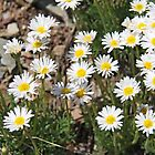 Creeping White Prairie Asters-Aster falcatus by Vickie Emms