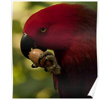 Eclectus Parrot Poster