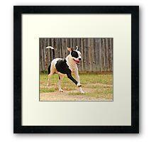 One Happy Pit-bull Framed Print
