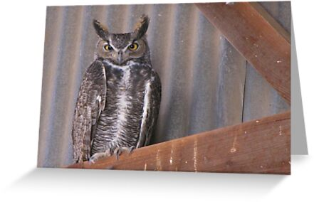Great Horned Owl ~ Rafter Raptor  by Kimberly Chadwick