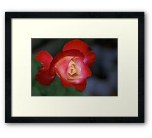 Red and yellowish rose, garden, Cranbourne, Vic. Framed Print