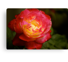 rose with two colours, garden, Cranbourne, Vic. Canvas Print