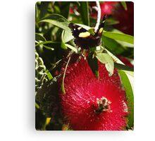 Australian Admiral Butterfly - Vanessa itea - Adelaide, Australia Canvas Print