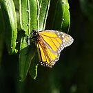 Monarch Butterfly with eggs (Danaus plexippus) by Dan & Emma Monceaux