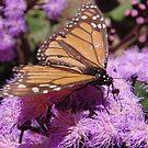 Monarch Butterfly feeding - Adelaide, Australia by Dan & Emma Monceaux