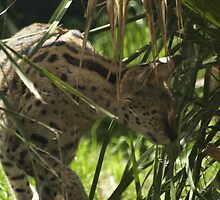 A serval (Leptailurus serval) by weigi