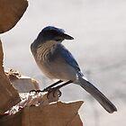 Juvenile Pinion Blue Jay by Roz Fayette