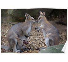 Wallaby Family Poster