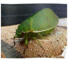 Bladder Cicada - Really Up-Close Poster