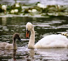 Swan & Cygnet by Escocia Photography Scottish Borders