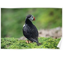 Puffin on Skomer Island Poster