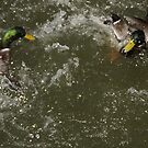 Duck fight by agenttomcat