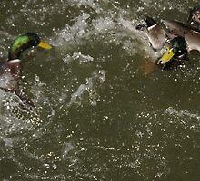 Duck fight by agenttomcat