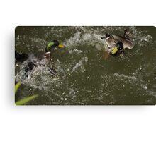 Duck fight Canvas Print