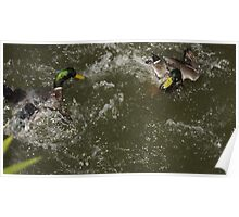Duck fight Poster