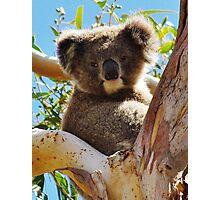 Koala in Tree Photographic Print