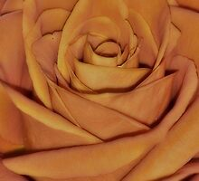 Coming up Roses by sarahlolney